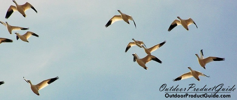 How to Hunt Snow Geese Without Decoys