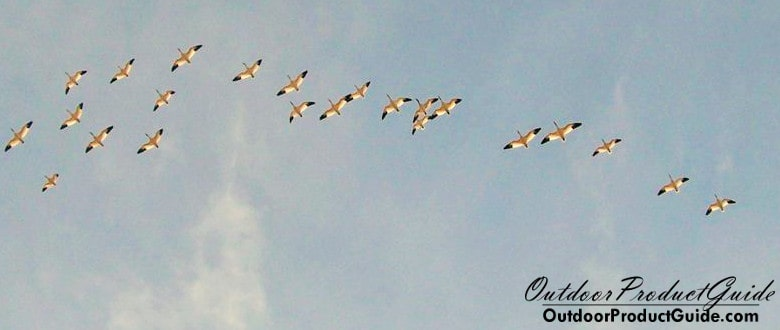hunting-snow-geese-without-decoys