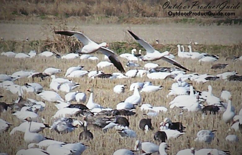 snow-geese-feeding