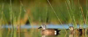 items-needed-for-waterfowl-hunting blue winged teal
