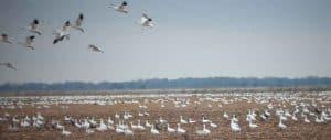 snow-geese-landing-in-field