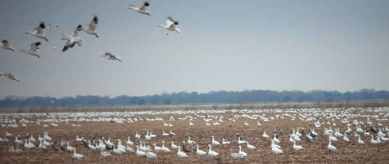 Snow Goose Hunting Tips For Beginners