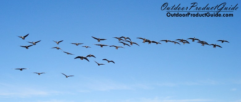 SOLVED: Why won't geese land in my decoys?