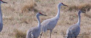 best-sandhill-crane-decoys