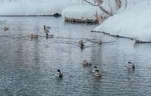 dabbling-ducks-hunting-tips