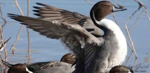 first-week-duck-hunting-opening-day-waterfowl