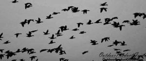 how-to-call-snow-geese