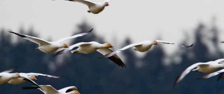 Top 3 Best Snow Goose Windsock Decoys