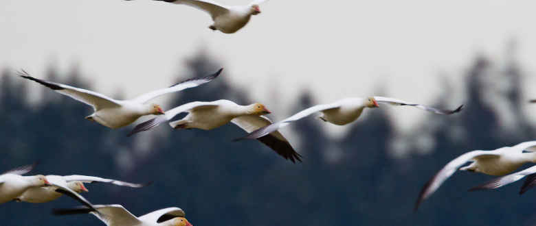 7 Tips for Hunting Geese in High Winds